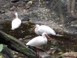Trio of Ibis by Geistis