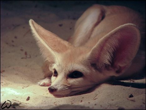 Fennec fox: In love...? Him? by woxys