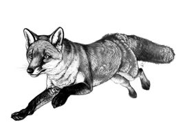 Grayscale Fox by oxpecker