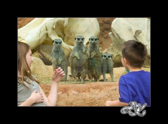 At the Zoo : Meerkats Watching by minainerz