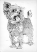 Yorkshire Terrier by Nightlightxx