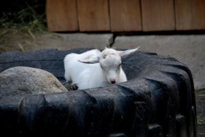 Baby Goat by oddjester