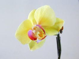 Young Orchid by hollycoffeebean