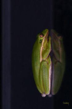 Tree Frog on Glass by CapscesDigitalInk