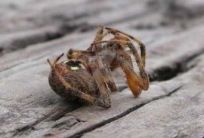 Spider Playing Dead by concettasdesigns