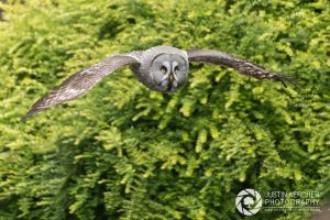 Great Grey Owl in Flight by Neutron2K