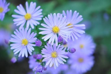 Autumn Asters by OfTheDunes