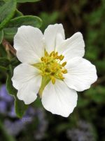 Potentilla Alba by Iris-cup