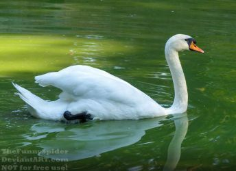 Swan swimming in green water by TheFunnySpider