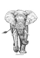 African Elephant by JessicaHsiung