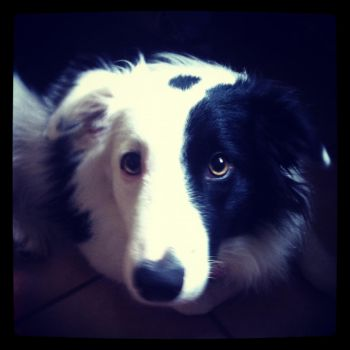 Miley my border collie by ajh2558