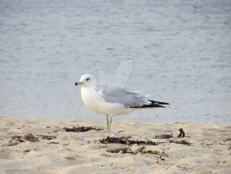Scusset Beach Seagull by Charlief43