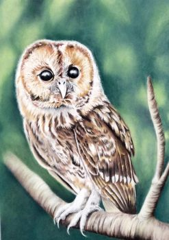 Owl pastel drawing by donnabe