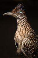 Roadrunner 2 by EdgedFeather