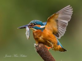 Female Common Kingfisher by Jamie-MacArthur