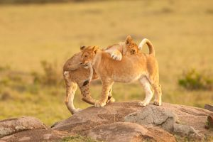 African Lion 110 by catman-suha