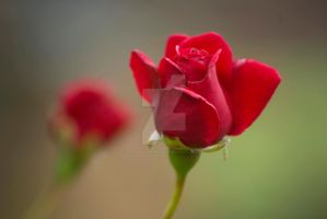 two red roses by photographybypixie