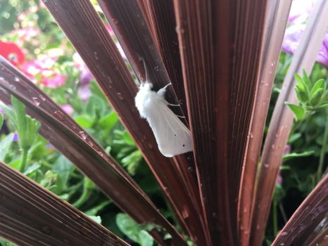 White Moth by Vohyd