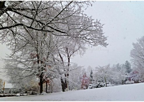 Snow covered trees in PA by 1000900054
