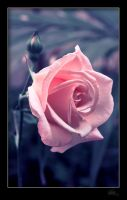 rose by klefer