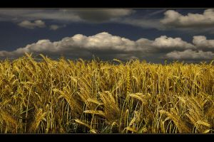 Golden Summer 2 by Hartmut-Lerch