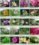 Flowers Chinese name02 by acory