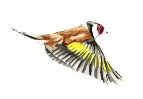 Gold Finch by Hummingbird26