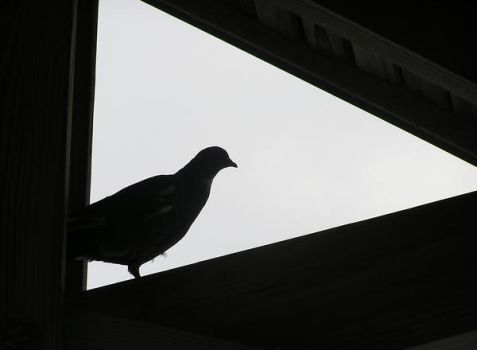 pigeon silhouette by jalzate