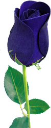 Blue Rose png by wsaconato