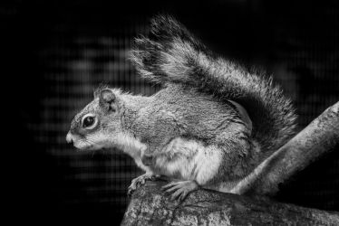 American Red Squirrel by Joker-laugh