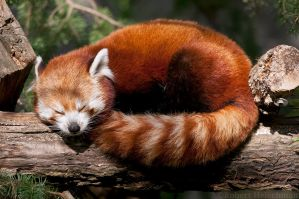 Red Panda Nap by robbobert