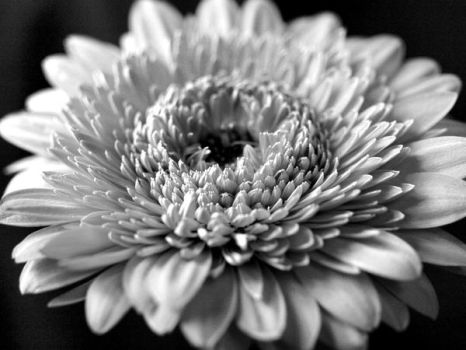 gerbera b-w series by 013926