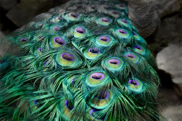 Peacock's tail by MichelleeF