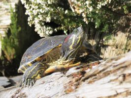 red-eared slider by kiwipics