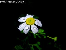 Daisy Drops I by BreeSpawn