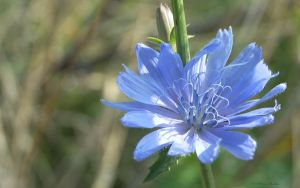 Autumn chicory flower by Defyz