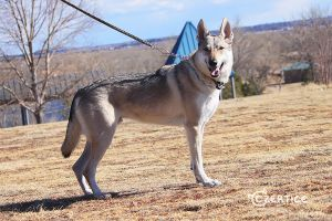 Xavier the Czechoslovakian Wolfdog by Czertice