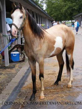 Paint Horse 46 by EquineStockImagery