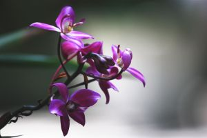 Orchidae by ciseaux