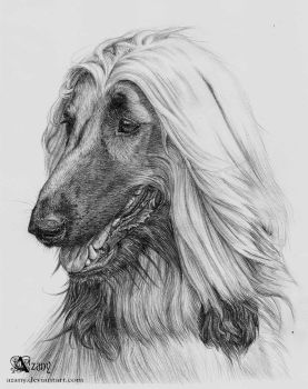 Afghan Hound by Azany