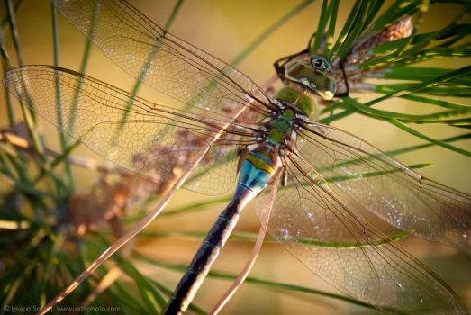 Dragonfly home for the evening by isotophoto