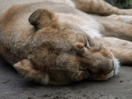 Asiatic lion by 75ronin