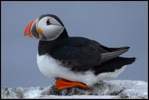 The Tired Puffin by nitsch