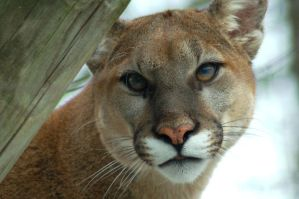 Puma Stare by Fohat