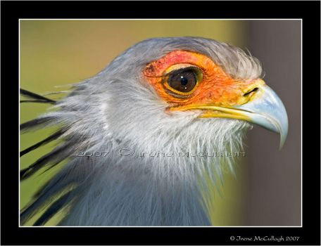 Secretary Bird by substar