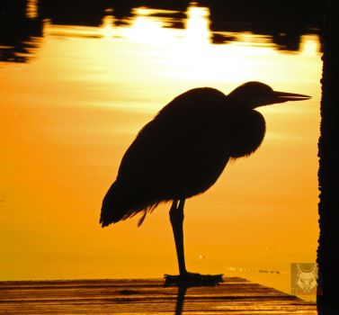 Gold Heron On Dock by wolfwings1