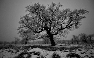 Oak tree by blackasmodeus