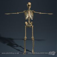 Skeletal System 3D Model 03 by TheRealPlasticboy
