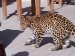 Leopard 3 by AbyssinalPhantom