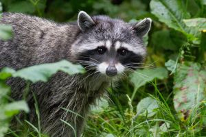 Raccoon by nigel3